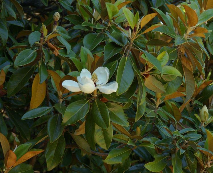 Magnolia  Magnolia grandiflora  Magnolia grandiflora  Alberi  Magnolia  Magnolia