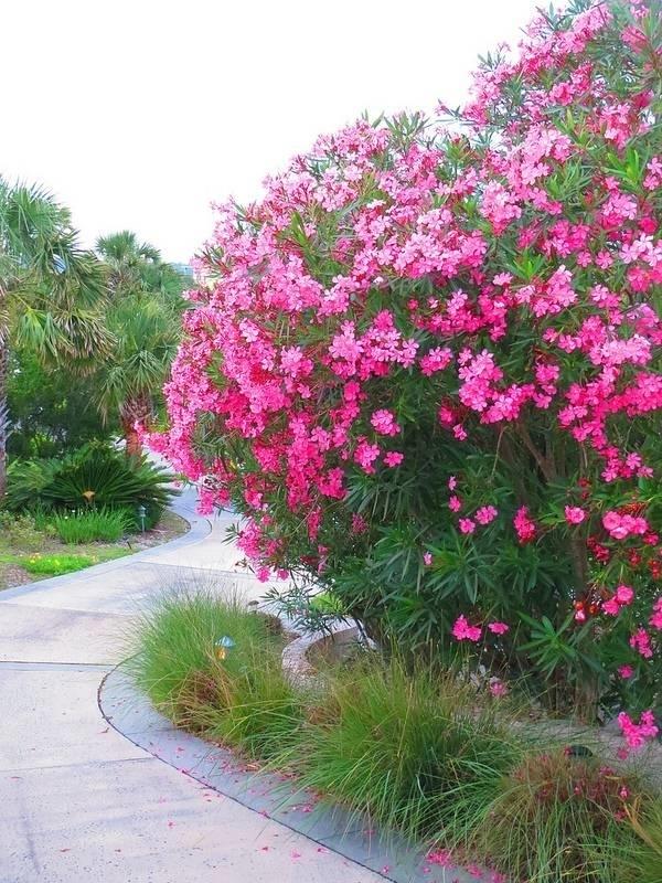 Oleandro  Nerium oleander  Nerium oleander  Piante da
