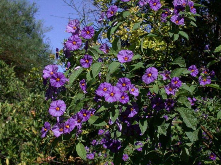 Solanum rantonnetii  Solanum rantonnetii  Piante da