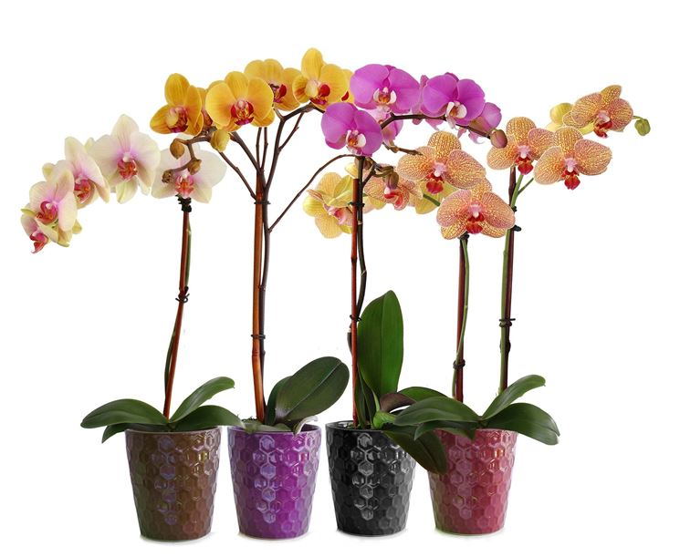 Come curare un orchidea  Orchidee  Come curare un orchidea