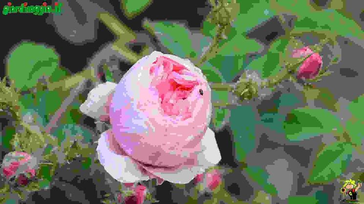 Rosa Gallica  Tipologie di rose antiche