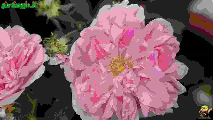 Introduzione rose antiche  Tipologie di rose antiche