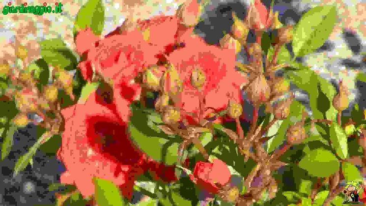 Rose miniature  Tipologie di rose moderne