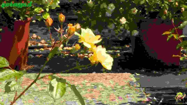 Rose rampicanti  Tipologie di rose moderne