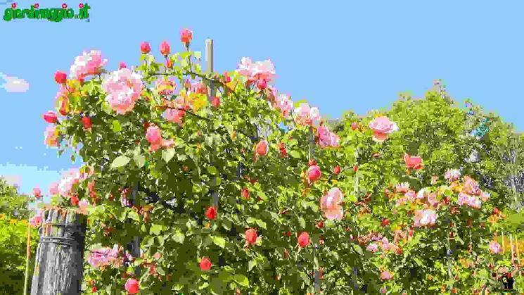 Rose Sarmentose  Tipologie di rose moderne
