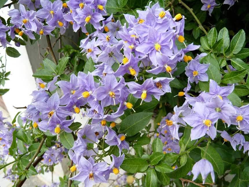 Solanum da fiore  Solanum rantonettii S bonariense  Giardinaggiomobi