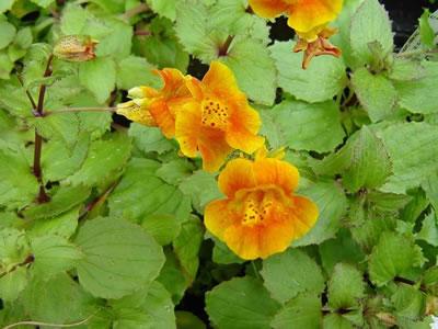 Malvarosa malvone  Althaea rosea  Giardinaggiomobi