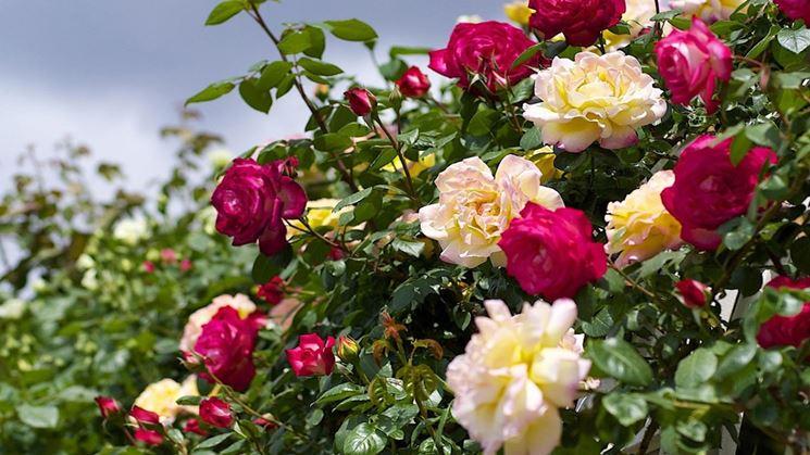 Fiori rosa  fiori di piante  Caratteristiche dei fiori
