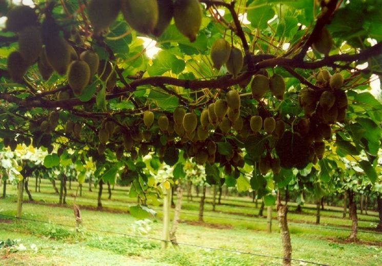 Raccolta kiwi  alberi da frutto  Come raccogliere i kiwi