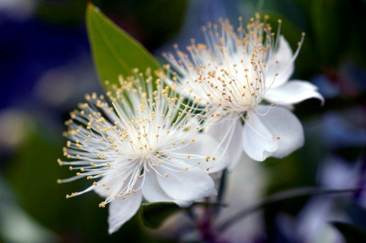 Mirto pianta  piante da frutto  Coltivazione mirto