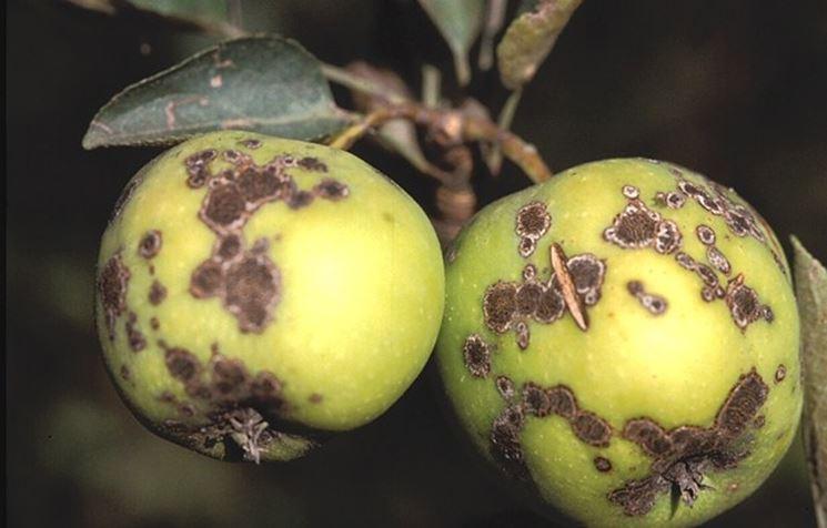 Malattie del melo  malattie delle piante  Le malattie