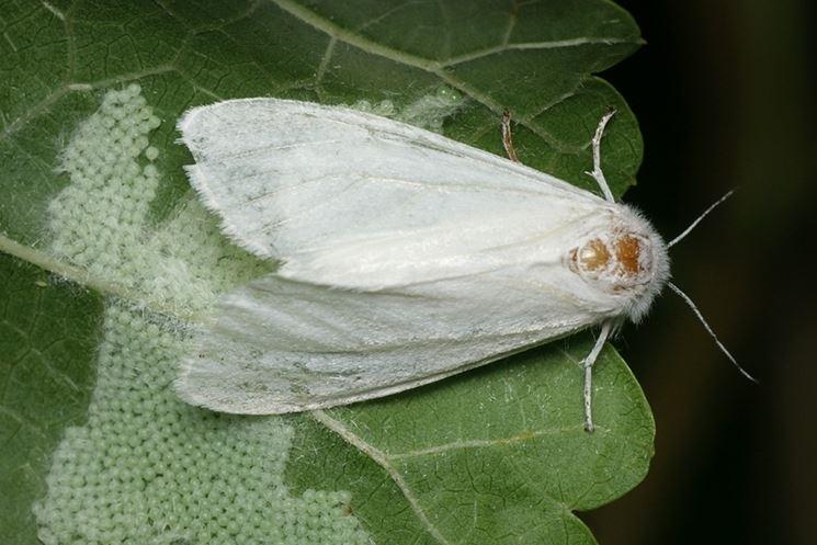 Il bruco americano  parassiti delle piante  Lepidottero