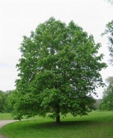 Potare alberi  potatura  Consigli per potare gli alberi
