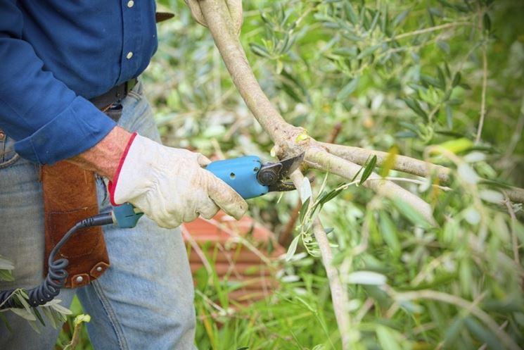 Potare olivo  potatura  Potatura ulivo