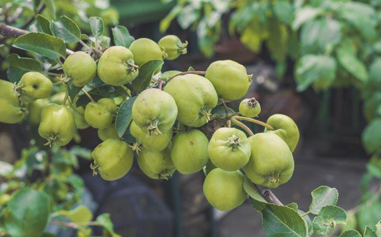 Potatura melo  potatura  Potare pianta mele
