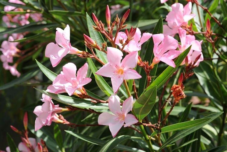 Oleandro  Nerium oleander  Piante da Giardino