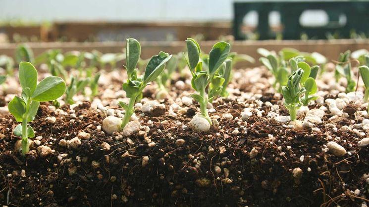 Ranuncolo  Piante da Giardino  Coltivare ranuncolo