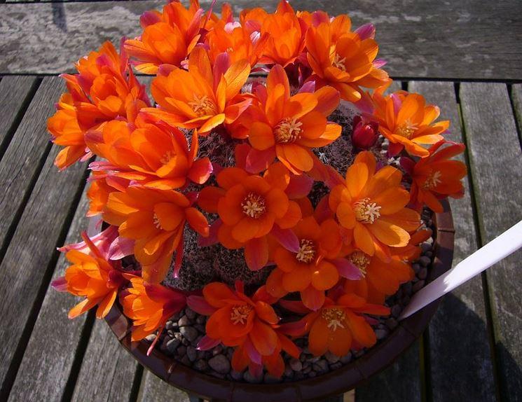 Mammillaria  Mammillaria  Piante Grasse  Come coltivare