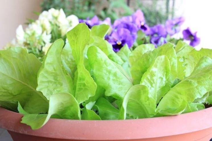 Coltivazione lattuga  coltivare orto  Come coltivare la lattuga