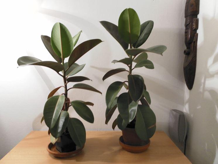 Ficus elastica  piante appartamento  Pianta ficus