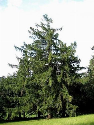 Larice giapponese  Alberi Conifere