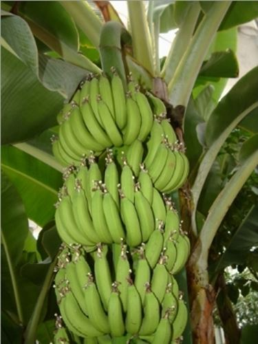 Banano  Musa acuminata  Frutti Tropicali