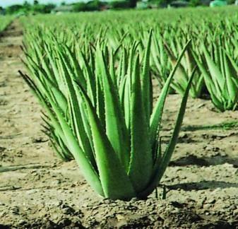 Aloe psoriasi  Aloe