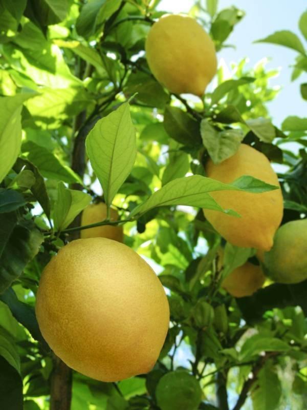 Quando Potare Il Limone Potatura