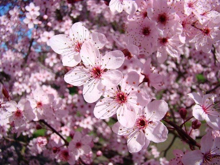 Alberi in fiore  Piante da giardino  Alberi in fiore