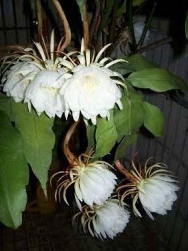 Epiphyllum  Piante grasse