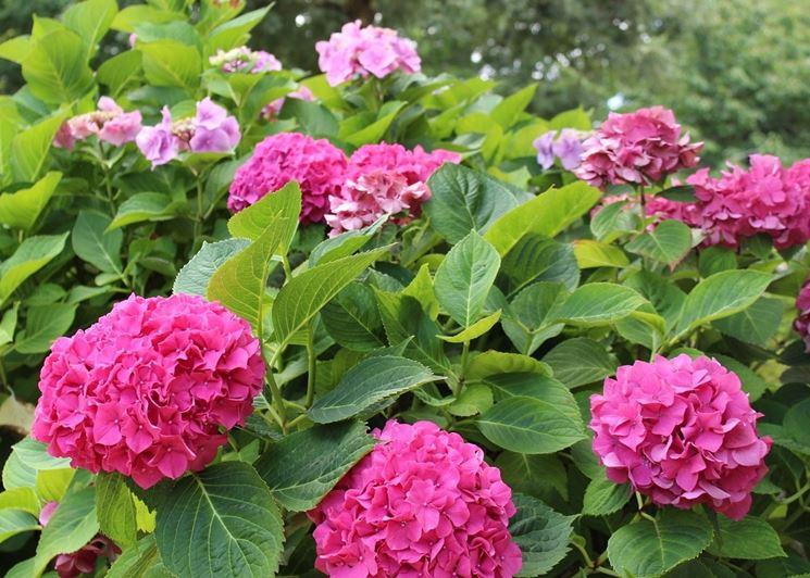10 fiori perenni per lombra  Piante perenni  Fiori