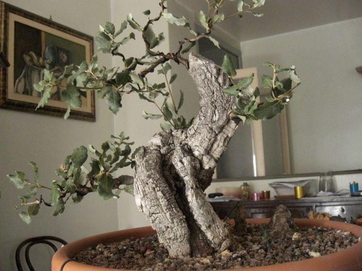 Bonsai di quercia  Attrezzi e vasi per bonsai  Quercia bonsai