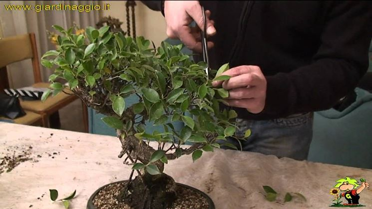 Potare ficus bonsai  Attrezzi e vasi per bonsai  Realizzare un ficus bonsai
