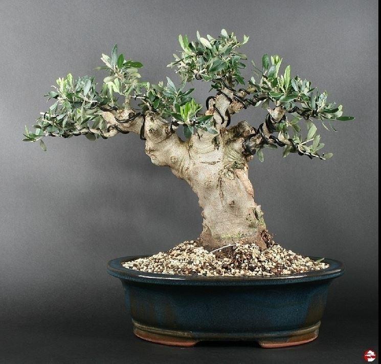 Ulivo bonsai  Attrezzi e vasi per bonsai