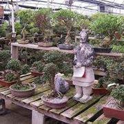 Bonsai prezzi  Bonsai  Costo dei bonsai