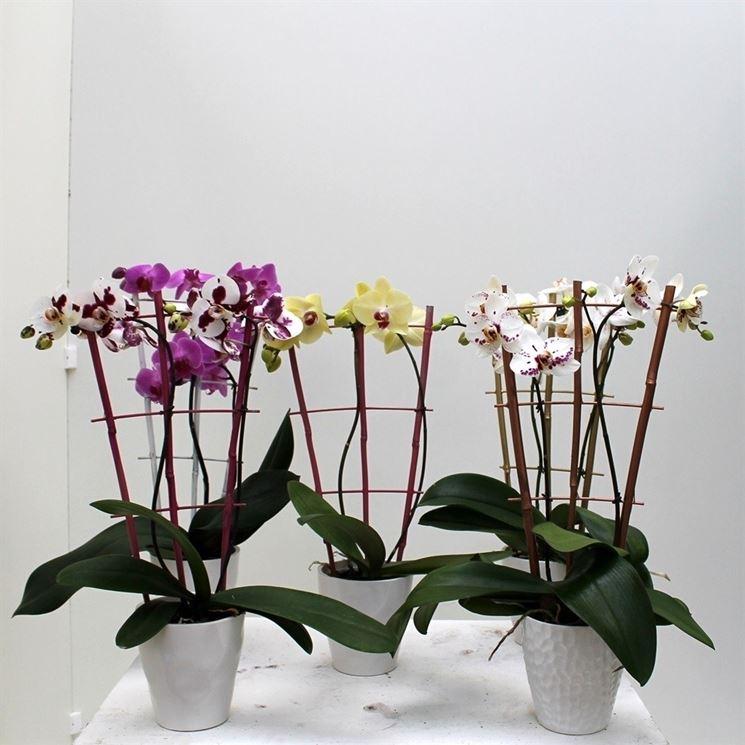 Orchidea selvatica  Orchidee  Caratteristiche dell