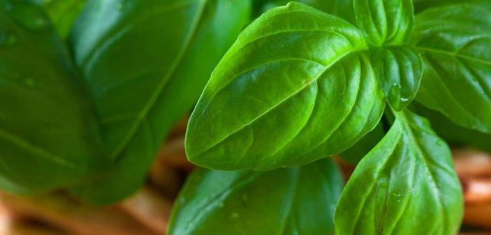 Basilico: come coltivarlo e farlo vivere a lungo