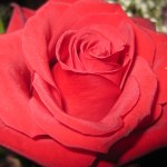 L'Elfo della Rosa di Andersen