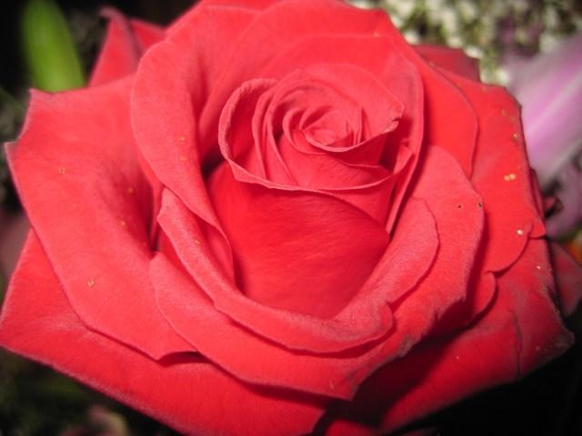 rosa-rosaa