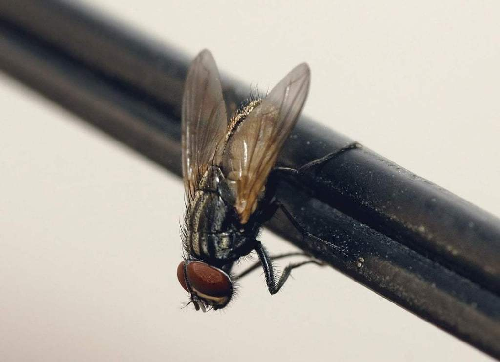 Common_housefly_01 Mosche
