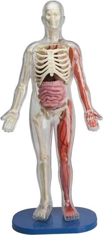 Squishy Human Body | Collectible Diorama Accessories | 6428