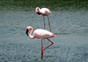 Two Lesser Flamingos
