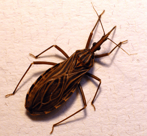 Close-up of a kissing bug