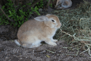 Islands Rabbit enjoys a snack