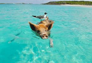 A pig and bird friend enjoy a swim islands