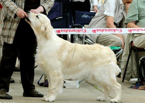 Gillbryan Any Dream Will Do JW 2nd Puppy Dog @ GRC Ch. Show 2008