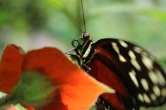 Schmetterling Ecocentro Danaus www.gindeslebens.com