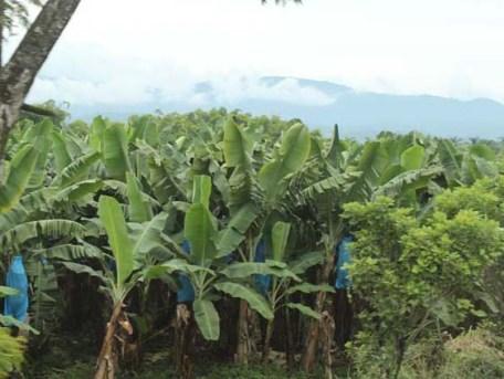 Bananenplantage Puerto Limón www.gindeslebens.com