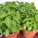 Planta toxica alucinogena
