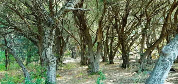 Grove of oak in Edgewood Park